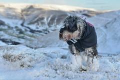 My little She-Hero and the Klingons (PentlandPirate of the North) Tags: darcy miniatureschnauzer mountain rushupedge mamtor snow hurtta coat