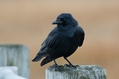 American Crow (Jesse_in_CT) Tags: crow nikon200500mm