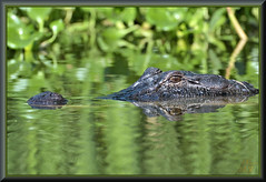 Just a little bit closer canoe boy (WanaM3) Tags: wanam3 nikon d7100 nikond7100 texas pasadena clearlakecity horsepenbayou bayou animal reptile nature wildlife canoeing paddling gator alligator alligatormississippiensis