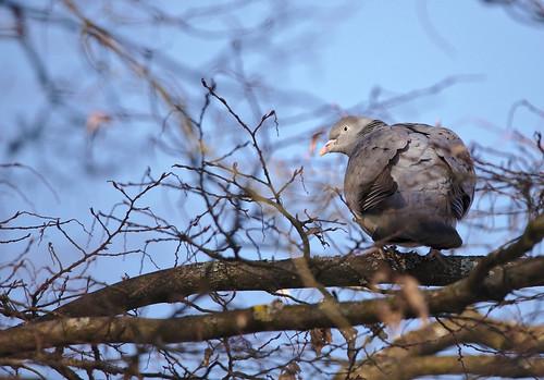 Wirre Taube