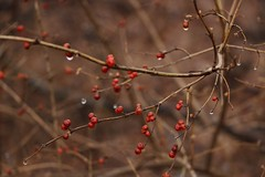 poison (_sydneyjones) Tags: sticks cloudy bird berry brown red rainy rain wet winter autumn cold outdoor nature earth plant branches bush things berries puremichigan michigan photography