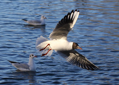Coming in to land (Treflyn) Tags: black headed gull dinton pastures reading berkshire