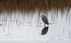 Grey Heron (doublejeopardy) Tags: bird cornwall marazion greyheron england unitedkingdom gb