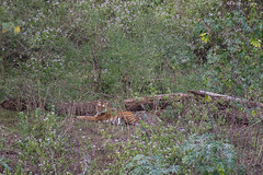 Tigress (Deepu Cyriac) Tags: travel tamilnadu tiger royalbengaltiger bengaltiger bigcat mudumalaiwildlifesanctuary mudumalai nature nilgiribiosphere wildlife westernghats indianforest animals
