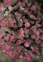 Autumn Hydrangea (janroles) Tags: outdoor plant flower blossom canoneos400d hydrangea autumn flickr closeup plants garden england fleur nature serene colour faded dof