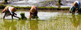 Reisanbau auf Java