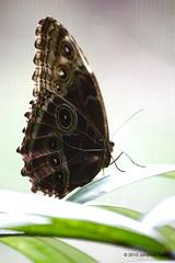 """Closed Wing Blue Morpho Butterfly (Aruba) (runintherain) Tags: runintherain canon450dxsi canon canonxsi caribbean lesserantilles flora nature outdoor animals butterflies details light aruba """"netherlands"""" abcislands dutchcaribbean arubabutterflyfarm oranjestad"""