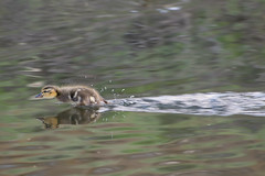 Faster than a Speeding Bullet! (phingular) Tags: lake bird duck bc duckling columbia british python mallard kamloops