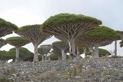 yem_1510 (Peter Hessel) Tags: yemen socotra soqotra jemen dragonbloodtree dracaenacinnabari