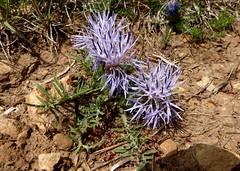Blaue Frberdistel (Carduncellus mitissimus) , NGIDn17844072 (naturgucker.de) Tags: caussenoir naturguckerde carduncellusmitissimus cchrisengelhardt ngidn17844072 wasserlochvonlucundumgebung