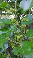 Anglų lietuvių žodynas. Žodis mulberries reiškia miežiai lietuviškai.