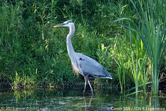 Canon 5DS - IMG_2063-01s copy (dojoklo) Tags: heron arlington canon menu ma book focus raw tricks master howto tips setup guide manual af mass blueheron setting learn tutorial greatblueheron recommend autofocus quickstart 5ds customfunction canon5ds mcclennanpark