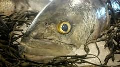 Fisheye, Literally (Eric Kilby) Tags: fish seaweed eye ice closeup head bluefish