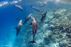 Red Sea - Dolphins 07 (Pietro Formis) Tags: redsea dolphins egitto hurgada delfini tursiope nauticamsafari2015 pietroformis