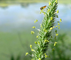 Picnic on the lakeshore (lindakowen) Tags: flower macro green nature water grass lakeshore floweringgrass tinyinsects