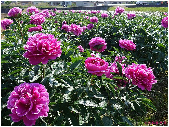 和歌山大池遊園-平池綠地公園 (32).JPG