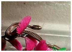 Juno ate the fish! (im thinking outloud) Tags: nature snake critter scales juno gartersnake babysnake catchingfish westernterrestrial gartersnakeofidaho