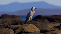 Rest on the rocks (Geoff Main) Tags: sea bird coast australia nsw whitefacedheron nswsouthcoast broulee mtdromedary canonef100400f4556lisusm brouleeisland canon7dmarkii