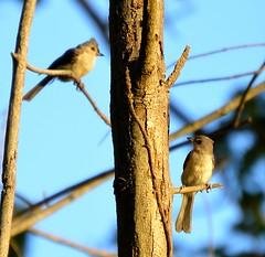 d206 (duffy2317) Tags: bird nikon 365 titmouse naturephotography birdsbirdsbirds birdphotos animalsrus d7000 birdinginthewild animalphotpos
