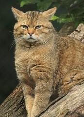 europese wilde kat duisburg JN6A0524 (j.a.kok) Tags: wildcat duisburg wildekat felissilvestrissilvestris europesewildekat europeanwildcat