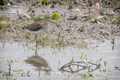 Wood Sandpiper (Andrew_Leggett) Tags: summer water mud rspb wader woodsandpiper tringaglareola bistort oldmoor inexplore