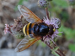 Eristalis (JMVerco) Tags: macro insecte sailsevenseas coth coth5 hoverfly flickrchallengegroup
