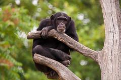 Bored (Sebastian Niedlich (Grabthar)) Tags: germany deutschland zoo monkey nikon chimp leipzig ape chimpanzee tamron affe schimpanse menschenaffe d90 0715 july15 zooleipzig grabthar sebastianniedlich nikond90 pantroglodytesverus westafrikanischerschimpanse leipzigzoo westernchimpanzee westafricanchimpanzee westlicherschimpanse tamronsp150600mmf563divcusd