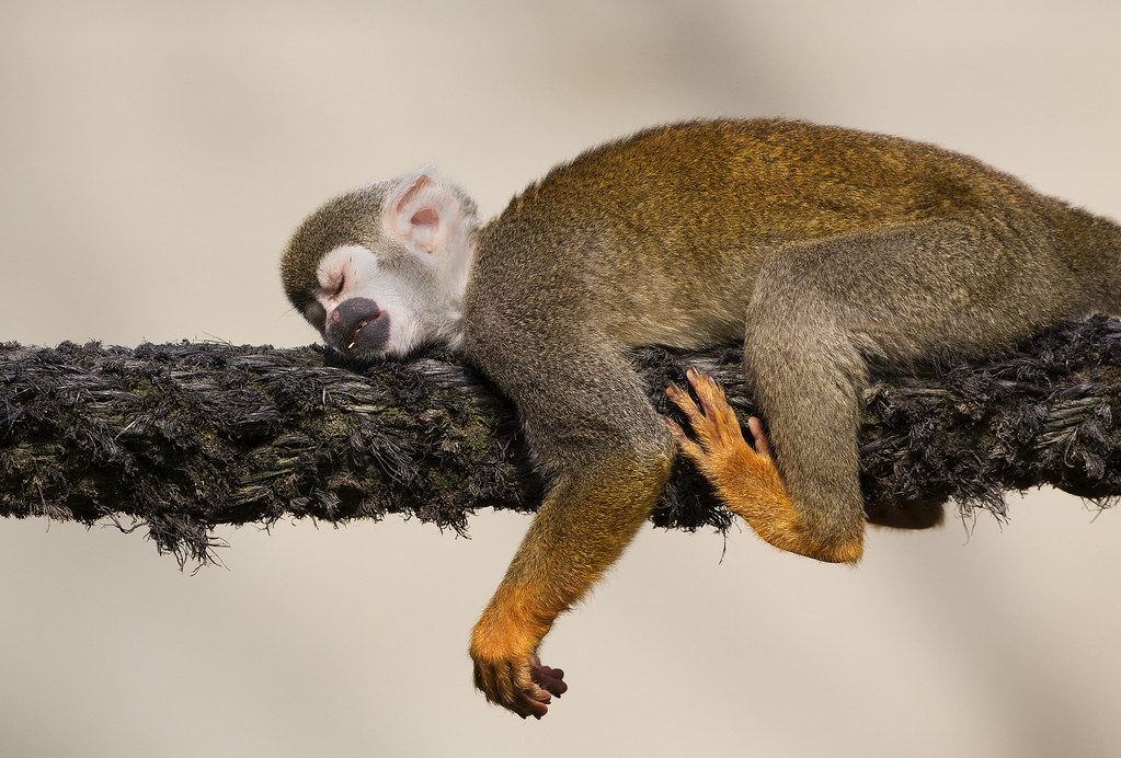 squirrel monkey research paper The common squirrel monkey (saimiri sciureus) is a small new world monkey of  the family  studies on the social and sexual behavior of the squirrel monkey ( saimiri sciureus) folia primatologica 1: 29–66  namespaces article talk.