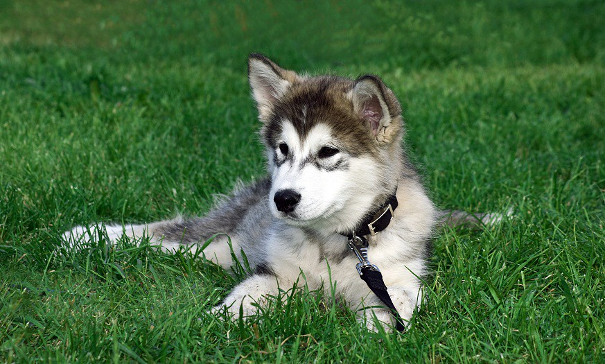 The Worlds Most Recently Posted Photos Of Husky And Lupo Flickr
