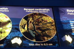 Banggai Cardinalfish, Pterapogon kauderni - Sydney Aquarium - sign (avlxyz) Tags: aquarium sydney australia sydneyaquarium fb5