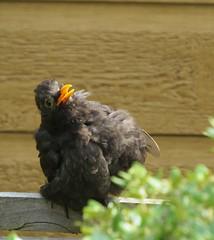 blissed out blackbird (Sally Melita) Tags: bird happiness blackbird sunbathing canonpowershotsx50