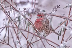 Colour against the snow (robinlamb1) Tags: bird animal nature outdoor finch housefinch male red backyard bush snow aldergrove bc snowyday