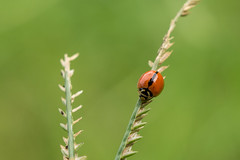 Spotless Ladybird (Just_hobby) Tags: ladybird macro sonya6000 sel50f18 10mmextensiontube insect animal outdoor
