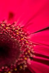 Gerbera Daisy (benjaminvelesig) Tags: flower macro pink daisy gerbera