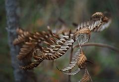 Decaying fern_c (gnarlydog) Tags: manualfocus shallowdepthoffield detail closeup nature pentax11050mmf28 freelensing adaptedlens australia fern decay blurred bokeh pastel