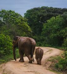 The family (runovv) Tags: srilanka india nature sky skyscape clouds wild animal bird forest safari green trees tree elephant