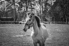 Fun de Henson (orianebarbier) Tags: poulain concours cheval henson isabelle stage