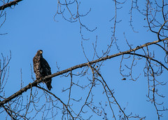 Eagle down by the river (Ronia Nash) Tags: bluebird december eaglefeeding mountains eagle squamish river