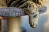 Descansando (Ritapinganillas) Tags: nikon d3200 35mm gatos gatas gato gata cats cat kitty 2017 invierno enero 08 familia family europa españa galicia pontevedra vigo arwen gatita pata rascador siesta al sol