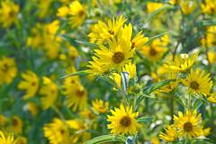 From a Warmer Day (NaturalLight) Tags: maximilian sunflower chisholmcreekpark wichita kansas