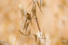 Sympecma fusca (Teo Martínez (temege)) Tags: naturaleza nature insectos odonatos damselfly caballito diablo invertebrados insects zoom verano summer amarillo yellow nikon tele quedada
