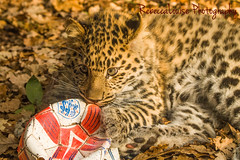 I have the prettiest eyes....but look what I did to my ball! (RebeccaLouise Photography) Tags: portrait prettyeyes eyes cute claws football ball spotty spots endangered marwellzoo zoo animals babyanimal cub cubs leopard whiskers