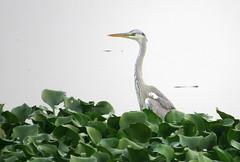 IMG_3052 (mohandep) Tags: birding lake bangalore madivala karnataka nature wildlife t
