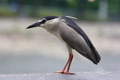 Black Crowned heron (cattan2011) Tags: travel traveltuesday travelblogger wildlife wildlifephotography wildlifeplanet wildlifewednesday heron birds nature naturephotography natureperfection landscape landscapephotography blackcrownedheron