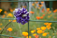 A Happy Friday Fence (Ptolemy the Cat) Tags: fencefriday fence happy colour flowers blur bokeh garden outdoors nikond600 nikonf355628300mmlens hff sunnymeade strathbogie victoria opengarden