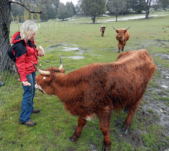 Gentle touch (LeelooDallas) Tags: australia tasmania tarraleah lodge tree cattle animal cow landscape dana iwachow nikon coolpix s9100