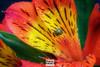 Macro Flower (W_10) Tags: rosecolor flower gerberadaisy singleflower fullframe daisy springtime freshness nature horizontal closeup macro plant season flowerhead petal daisyfamily colorimage beautyinnature nopeople photography vibrantcolor