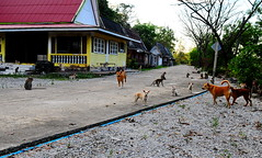 ,, Rocky To The Rescue ,, (Jon in Thailand) Tags: rocky mama benttailpuppy monkeys primates jungle yellow blue road nunshomes trees puppies bunchofpuppies nikon nikkor d300 175528 abandonedabusedstreetdogs btp dog dogs k9 k9s rocketmanrocky running red redroof tail littlepuppies abandonedpuppies manydogs jungledogs streetphotographyjunglestyle mamaswound littledoglaughedstories