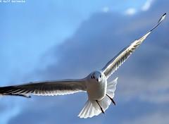 Seagull - Piran January 2017 05 (reineckefoto) Tags: seagulls piran sea blue sky bird