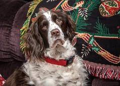 Gracie (trashguy9) Tags: springerspaniel dog puppy springer spaniel